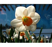 Narcissus in the shade Photographic Print