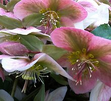 Hellebores by Julie Van Tosh Photography