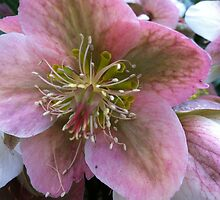 Hellebore by Julie Van Tosh Photography
