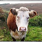 """"""" Good Moooing can I help you?"""" by Malcolm Chant"""