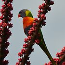 Proud Rainbow Lorikeet by TheaShutterbug