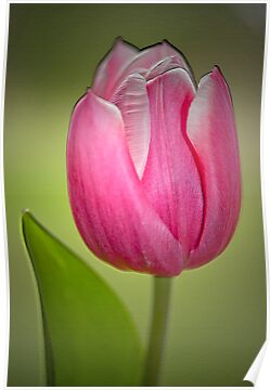 Tulip by Margaret S Sweeny