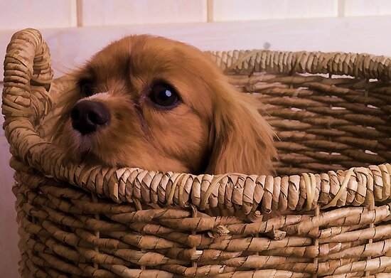 Cavalier King Charles Spaniel Basket by Edward Fielding