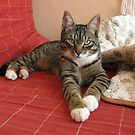 Mishu our No8 ex stray cat is now 8m old by Dennis Melling