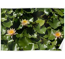 Exotic Colored Waterlilies in the Hot Mediterranean Sun Poster