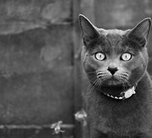 Russian Blue by Anne Staub by Anne Staub