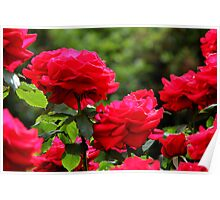 Olympiad Tree Roses Poster