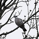 Pigeon on Tree by AmandaJanePhoto