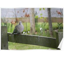 Pigeon sitting on Fence  Poster