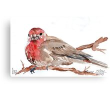 Common Red-poll {Corduelis flammea} Canvas Print