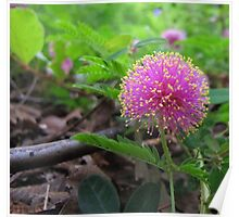 Texas Wildflower - Sensitive Briar Poster