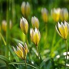 Wild Tulips by RosiePosie