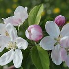 Apple Blossoms in May by karina5