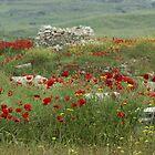 Poppys by ThePigmi