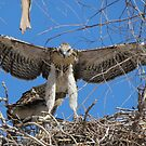 Red-tailed Chick #1 2012 (Wings wide) by Kimberly Chadwick
