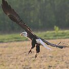 Bald Eagle by Dave & Trena Puckett