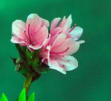 Pink Azaleas by marymdmed
