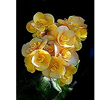 Double Begonia at it's best........! Photographic Print