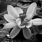 Lotus in B&W by Kelly Rockett-Safford