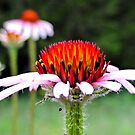 Coneflower Paradise by aprilann