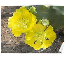 Cactus Flowers - Prickly Pear Poster