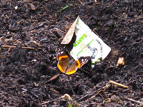 The Red Admiral Headlines..Millions invade Eastern Canada while the economy saps the trees by MarianBendeth