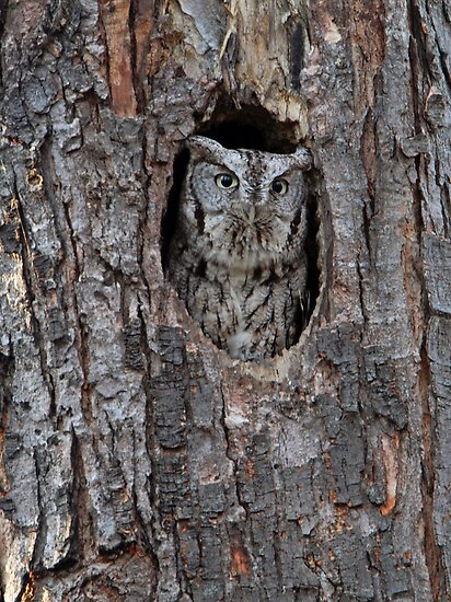 Eastern Screech Owl - Grey Morph by Bill McMullen