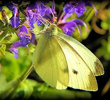 Cabbage Butterfly on Salvia by Sharon Woerner