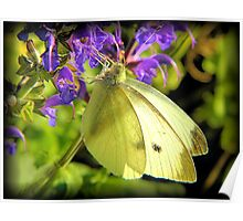 Cabbage Butterfly on Salvia Poster