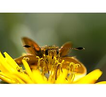 Yellow Banded Dart Photographic Print