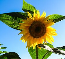 sunflower by Anne Scantlebury