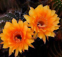 Orange Cactus Flowers by Saija  Lehtonen