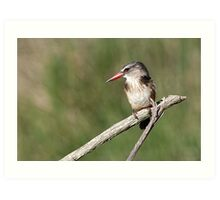 The Brown-hooded Kingfisher (Halcyon albiventris) 3 Art Print
