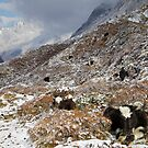 Yaks, Upper Langtang valley, Nepal by John Spies