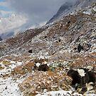 Yaks, Upper Langtang valley, Nepal by John Spies