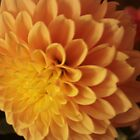 Edge of Gold - Dahlia by judith26