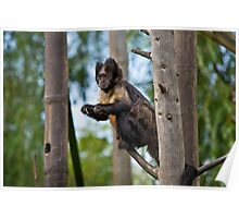 Buffy Headed Capuchin Poster