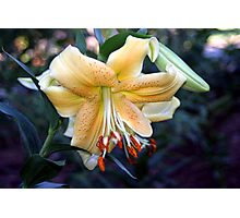 A Lovely Lily Photographic Print