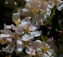 Apple Blossom Time by Richard Lee