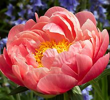 Pink Peony with Blue Flowers Behind by Kenneth Keifer