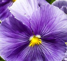 Wet Purple Pansy by Kenneth Keifer