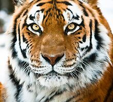Amur Tiger by CormacEby