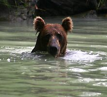 Grizzly Bear Swimming by Carol Bock