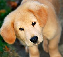 Golden Retriever Pup by Christina Rollo