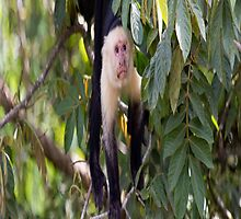 White faced Monkey by Carol Bock