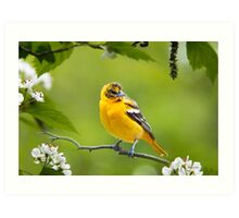Baltimore Oriole Bird and Blooms  Art Print