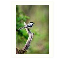 Forest Bird Chickadee Art Print