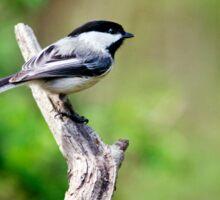 Forest Bird Chickadee Sticker