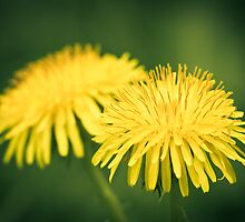 Dandelion dreams by RedMann