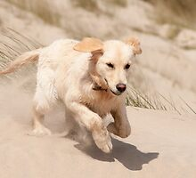 Flying ears, Curracloe beach, County Wexford, Ireland by Andrew Jones